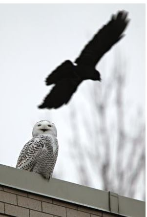 owl and crow